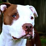 Close-Up Of Pit Bull Terrier